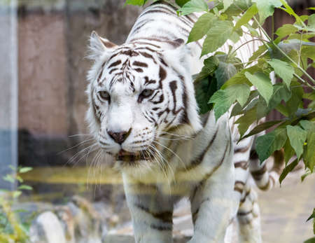 White Bengal tiger on a walk