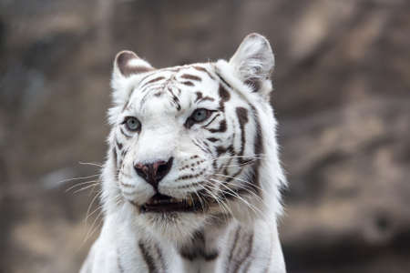 White Bengal tiger close look  Close-up portrait Stock Photo