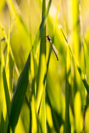 Sedge glowing in the sun and sitting dragonfly Stock Photo