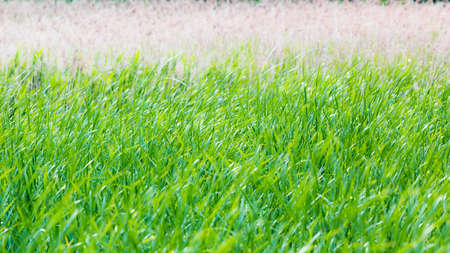 Tall grass on the field  Green young grass and brown dry old grass  small depth of field Stock Photo