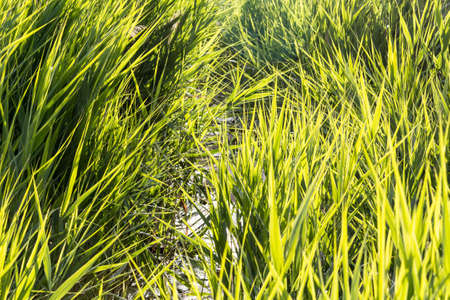 Thickets of tall grass sedge by a pond in a sunny day in summer Stock Photo