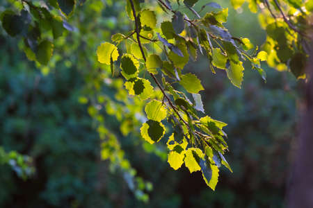 Hazel green leaves (common hazel, Corylus avellana) on a branch. Backlight. Little depth of field