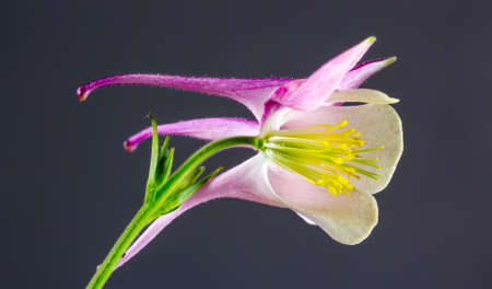 Aquilegia vulgaris European Columbine Common Columbine or Granny Stock Photo