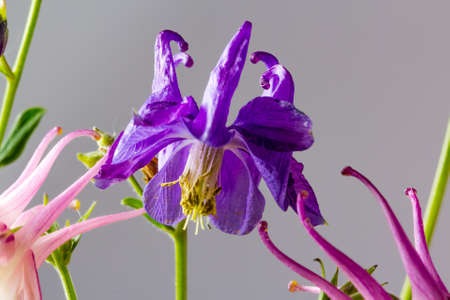 Aquilegia violet closeup on a gray background