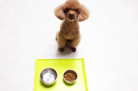 Brown Poodle Dog under training for waiting meal