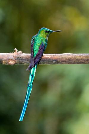 hummingbird: Hummingbird, valley de cocora, Colombia Stock Photo