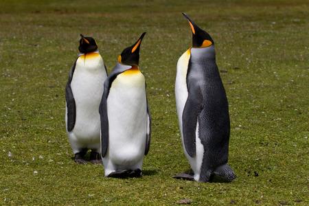 falkland: King penguin, Falkland Islands