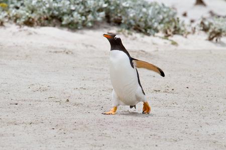 falkland: Gentoo penguin, Falkland Islands