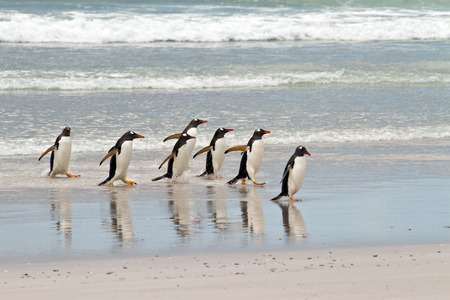 gentoo: Gentoo penguins waddle out of the sea