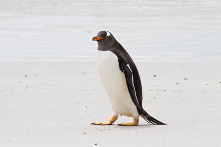 gentoo: Gentoo penguin, Falkland Islands