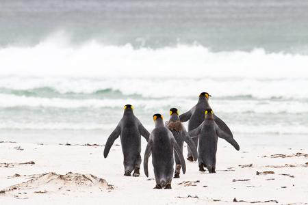 king penguins: King penguin, falkland islands