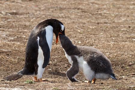 gentoo: Gentoo epnguin female and her chick