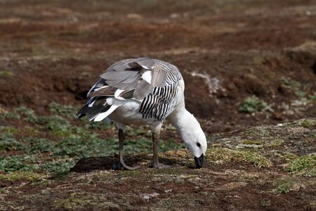 upland: Upland Goose Male