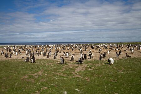 gentoo: Gentoo Penguin Colonia