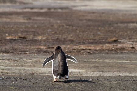 gentoo: Lonely Gentoo penguin Stock Photo