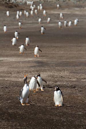 penguin colony: Gentoo Penguin colony Stock Photo