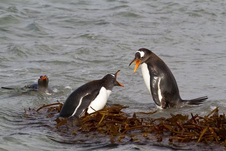 gentoo: Gentoo Penguins combattimento Archivio Fotografico