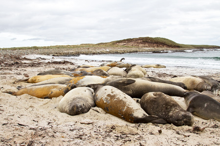 southern: Southern elephant seal colony Stock Photo