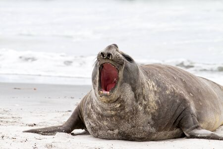 Southern elephant seal is crying around