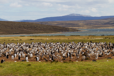 penguin colony: Gentoo penguin colony, falkland islands