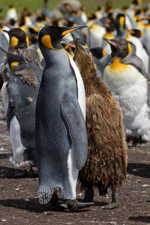 pinguinera: Colonia de ping�ino rey