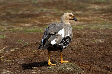 upland: Upland Goose Female Stock Photo