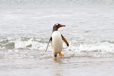 coming home: Gentoo penguin is coming home from fishing