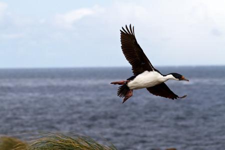 king cormorant: King cormorant