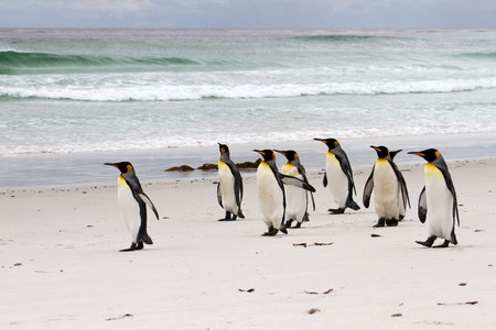 waddling: King penguins walking on the beach