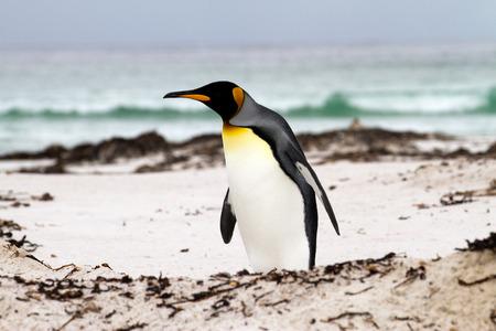 waddling: King Penguin walking on the beach