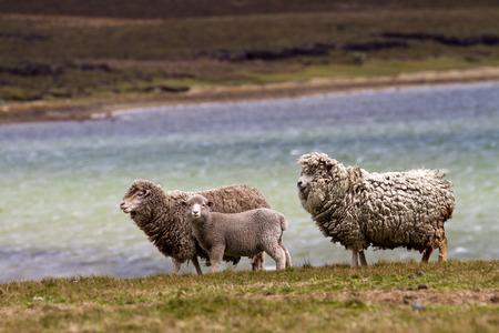 falkland: Sheep family, falkland islands Stock Photo