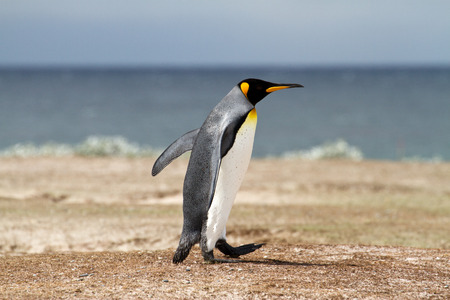 waddling: King Penguin