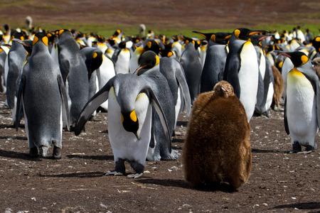 pinguinera: Colonia de ping�ino rey con el polluelo