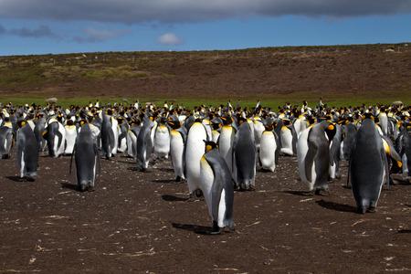 waddling: King Penguins