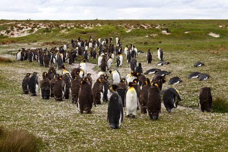 penguin colony: King Penguin colony