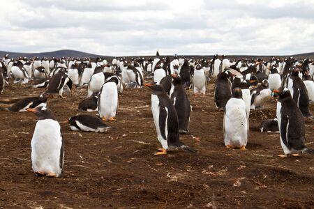 pinguinera: Gentoo colonia de ping�inos, islas malvinas