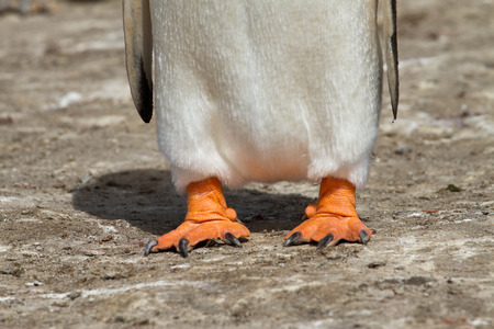 Gentoo penguin feet