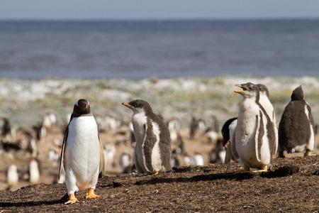 pinguinera: Ping�ino de Gentoo colonia Foto de archivo