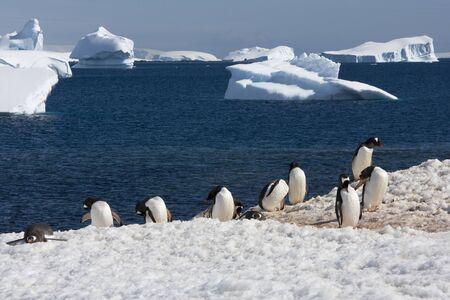 gentoo: Gentoo Penguin, Antarctica