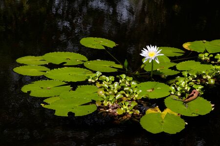 blooms: Water lily blooms