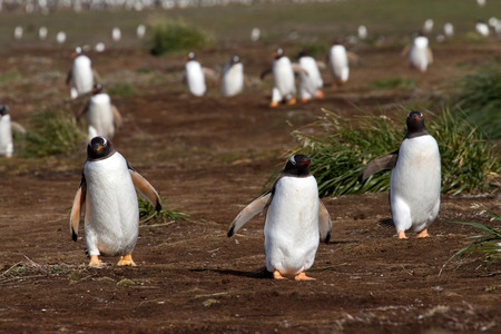 coming home: Gentoo Penguins coming home