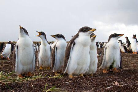 gentoo: Curiosit� Gentoo Penguin pulcino Archivio Fotografico