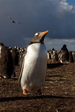 gentoo penguin: Gentoo Penguin in the evening light Stock Photo
