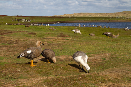 upland: Landscape Falkland Islands with upland goose