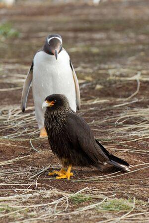 scavenging: Curios Gentoo Penguin is looking curios to a caracara bird Stock Photo