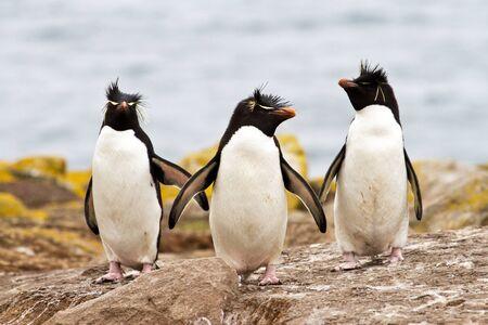 penguin colony: Rockhopper Penguins walking uphill