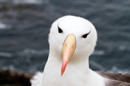 Black-browed Albatross closeup Stock Photo