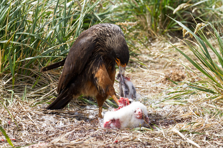 scavenging: Skua hunting a penguin chick