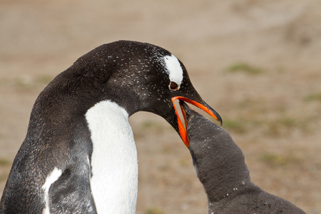 Gentoo penguin mother is feeding her chick Reklamní fotografie