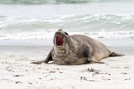 amok: Southern elephant seal is crying around